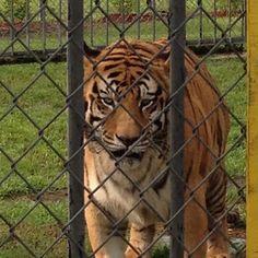 ReGRRRRRamming from @digitalwarr this GRRRRR8 pic of me. If you visit, take pics  video  and plz tag me on instaGRRRRRam. New media helps keep my case networked! RARS! Luv, TNY #tiger #tigers #tigertruckstop #Louisiana #freetonytiger #captivetigers