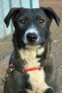 Akita & Terrier Mix • Young • Male • Lg. Page Animal Adoption Agency Page, AZ. How can you not love the ears? AMIS <3 is a goof ball of a dog! He has learned so much since he has been in our care. He enjoys playing w/ & meeting new DOGS. Also enjoys walks, car rides & just being part a fun loving family. He has shown he is very social, but always wants to know where you are at all times. Amis is our big teddy bear! For more information please call 928-640-1500