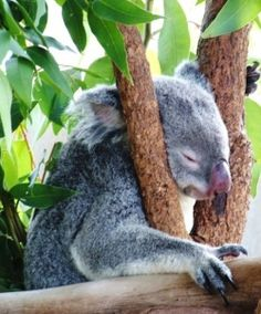Do you know about koala bears? Actually koalas are not really bears at all, although their Latin scientific name, Phascolarctos cinereus, means...