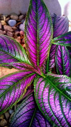 Persian Shield (Strobilanthes dyerianus)