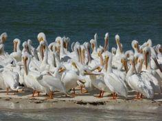 Pelikane in den Everglades