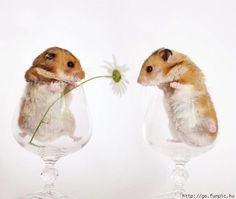 Hamsters - hamsters Photo