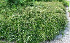 Seppelvarpu kuuluu monikäyttöisimpiin maanpeitepensaisiin, sillä se viihtyy yhtä hyvin varjossa kuin auringossa.Seppelvarvussa ihastuttavat rento kasvutapa