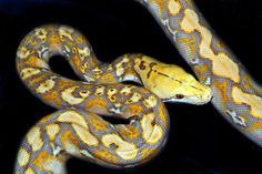 © sefihk via: shaddie.hubpages.com © sefihk via: snakesnadders.org Habitat: DomesticatedStatus: No Conservation Concerns This is an extremely fun Reticulated Python.. Reticulated Python Morphs, Ball Python Morphs, Retic Python, Cute Snake, Snake Art, Snakes, Lizards, Reptiles And Amphibians, Albino