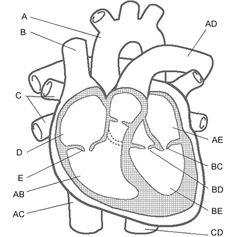 brilliance-circulatory-system-diagram-worksheet-parts-of