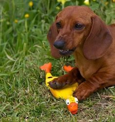 Don't even think about it! Dachshund Funny, Dachshund Breed, Long Haired Dachshund, Dachshund Love, Daschund, Funny Pets, I Love Dogs, Cute Dogs, Clever Dog