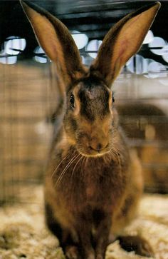 Historic Meat Rabbit Breeds: including the beautiful Beverens