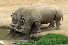 Beautiful rhino horns - right where they should be. by Michelle_Fryer, via Flickr