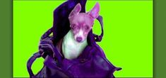 Video on how to teach your dog to love being in a purse