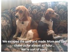 """""""We escaped the yard and made Mom and Dad chase us for almost an hour."""" Redford, the larger beagle (and successfully adopted-out foster dog!) and Noodle, the smaller beagle, decided to escape the b. Beagle Funny, Beagle Dog, Funny Dogs, Cute Puppies, Cute Dogs, Dogs And Puppies, Doggies, Cute Funny Animals, Funny Cute"""
