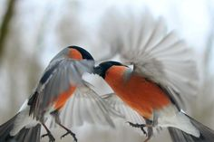 fighting or being friendly? bullfinches