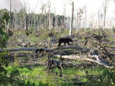 Bears at Great Dismal Swamp Fire