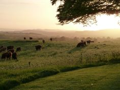 england cows in field at dusk