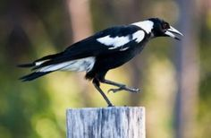 The Australian Magpie is a medium-sized passerine bird native to Australia and Southern New Guinea. Pretty Birds, Beautiful Birds, Eurasian Magpie, Crows Ravens, Interesting Animals, Australian Birds, All Birds, Unique Animals, Bird Art