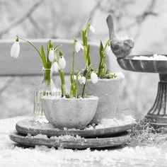 The beautiful Snow Drop, first flower of Spring.