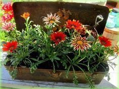 An Old Toolbox, with gazanias - Garden Junk Forum - GardenWeb