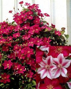 Clematis Ville De Lyon, Clematis Nelly Moser, Floral Wreath, Wreaths, Plants, Decor, Climber Plants, Garden Plants, Blue Green
