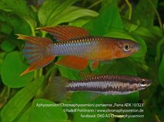 Aphyosemion pamaense