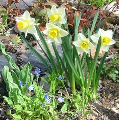 Daffodils!!!! They love Spring too!!!!