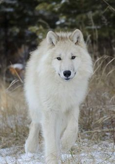 STOP KILLING WOLVES!!!! ANYWHERE in the WORLD ! ! ! !