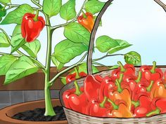 Bell peppers take a little work to grow, but the amount of work needed to grow them indoors is not much more than the amount of work needed to grow them outdoors. Keeping the plants moist and warm enough poses the most difficult obstacle,...