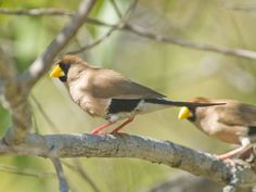 Masked finch, Australia