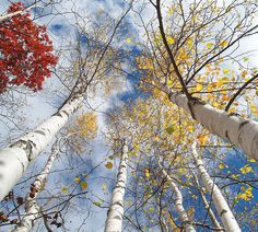 Birches I think autumn in Minnesota is a bit like Mardi Gras or Carnival. Such a blaze of party colors. A celebration to make us forget the long quiet winter of privation and reflection ahead of us.