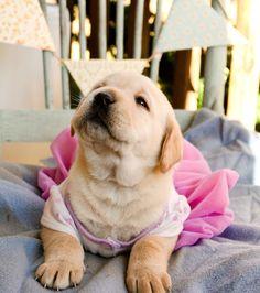 Labrador puppy! #labradorretriever