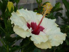 Hibiscus son, sin duda, unas de las flores más bellas