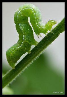 Caterpillar curve