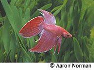 Betta fish profile (freshwater)