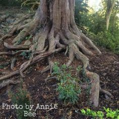 Old Tree roots at Swiss Garden Garden Sculpture, Lion Sculpture, Tree Roots, Growing Tree, The Visitors, Entrance, Old Things, Outdoor Decor, Plants
