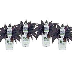 Amazon.com: Sweet Caroline Raven Sweet Potato Vine (Ipomoea) Live Plant, Purple-Black Foliage, 4.25 in. Grande, 4-pack: Garden & Outdoor Sweet Potato Plant, Growing Sweet Potatoes, Potato Vines, Sweet Caroline, Purple And Black, Raven, Ravens, Crows, The Crow