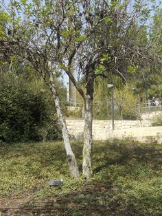 Oskar Schindler tree
