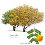 Huisache (Sweet Acacia), small, very orange and showy early spring immediately a. Trees And Shrubs, Trees To Plant, Drought Tolerant Trees, Identify Plant, Specimen Trees, Tree Pruning, Cactus, Forest Service, Landscaping Plants