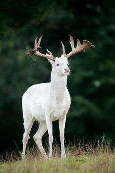 Albino deer - Rare animal because of its cuteness. There are many species of ani. - Albino deer – Rare animal because of its cuteness. There are many species of animals in the world - Albino Deer, Rare Albino Animals, Rare Species Of Animals, Beautiful Creatures, Animals Beautiful, Beautiful Horses, Animals Amazing, Unusual Animals, Animals And Pets