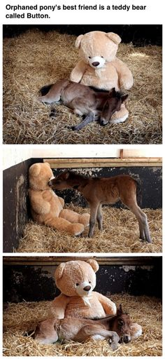 Orphaned foal's best friend is a teddy bear called Button. Too adorable.