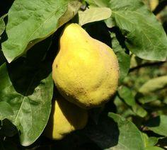 Euras   Zdravăn Pear, Fruit, Gardening, Paradis, Sun, Agriculture, Green, Plant, Lawn And Garden