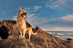 Beautiful German Shepherd on vacation at the beach