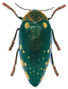 Sternocera boucardi