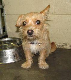 URGENT HIGH KILL ANIMAL SHELTER!!  Lee County Animal Shelter NC.  Female, 1Yrs 8 Months   beige Terrier Dog 12879