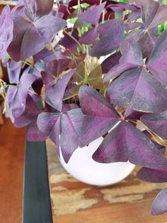 Oxalis Houseplants are Low Maintenance Beauties - Plants Don't Wine Paper Flower Arrangements, Paper Flowers, House Plants Decor, Plant Decor, Indoor Garden, Garden Plants, Red Perennials, Shamrock Plant, Oxalis Triangularis