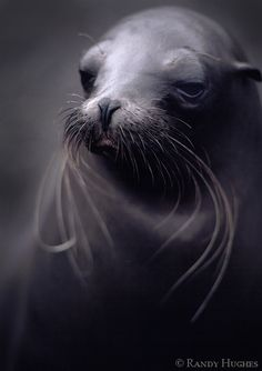 Sea Lion by ~RandyHughes