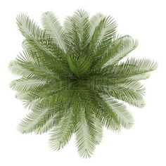 plants top view: top view of oil palm tree isolated on white background Stock Photo Photoshop Png, Tree Photoshop, Photoshop Rendering, Photoshop Ideas, Maple Tree Tattoos, Pine Tree Tattoo, Trendy Tree, Tree Plan Png, Trees Top View