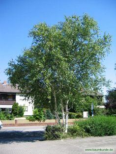 Doorenbos Weißrindige Himalaja-Birke / Betula utilis var. jacquemontii 'Doorenbos' / Habitus Familie: Betulaceae
