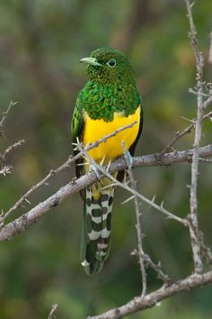 african emerald cuckoo  (photo by rawnaturephoto) via fairy wren