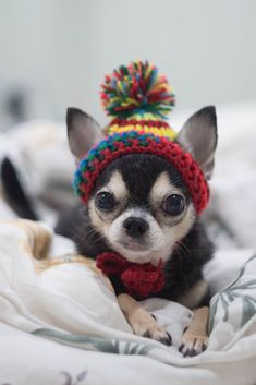 Effective Potty Training Chihuahua Consistency Is Key Ideas. Brilliant Potty Training Chihuahua Consistency Is Key Ideas. Chihuahua Love, Chihuahua Puppies, Cute Dogs And Puppies, I Love Dogs, Pomeranian Puppy, Doggies, Teacup Chihuahua, Long Haired Chihuahua, Fluffy Puppies