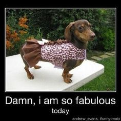 This is how my dog looks when she wears her clothes. She is fabulous lol