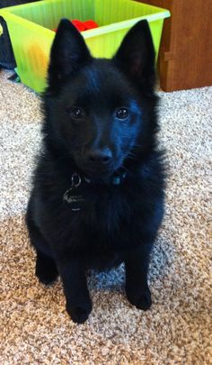 Cute little schipperke