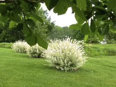 Plant Inventory: Salix integra / Dappled Willow